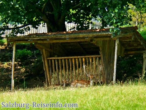 Damhirsch mit Hirschdame entspannen im Schatten