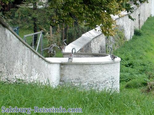 Freilaufende Katta Tiergarten-Hellbrunn