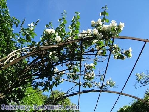Blühende Kletterpflanze
