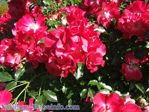 Rosen am Rosenhügel
