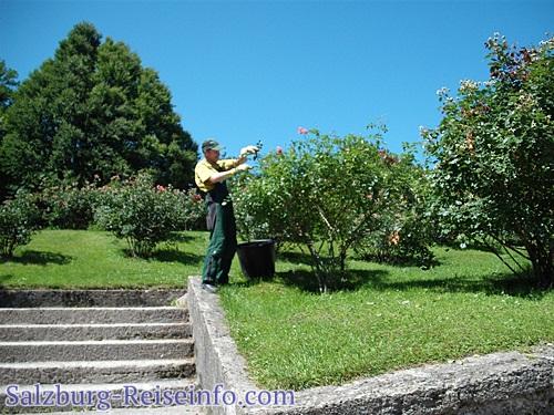 Gärtner pflegt Rosen